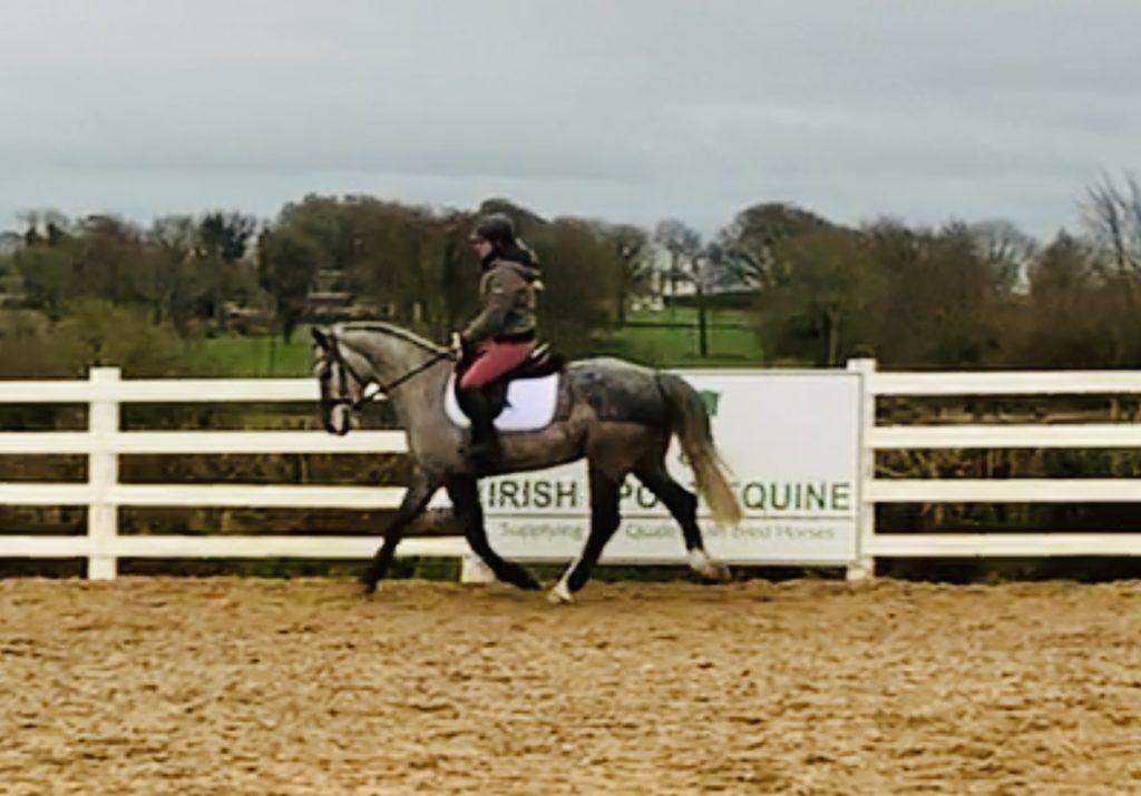 Magic - quiet purebred Irish Draught gelding!